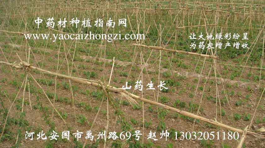 图示7:山药生长,中药材种植指南网,中药材种子,中药材种植,让大地绿彩