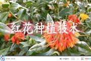 红花种植技术视频