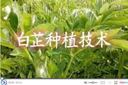 白芷种植技术视频
